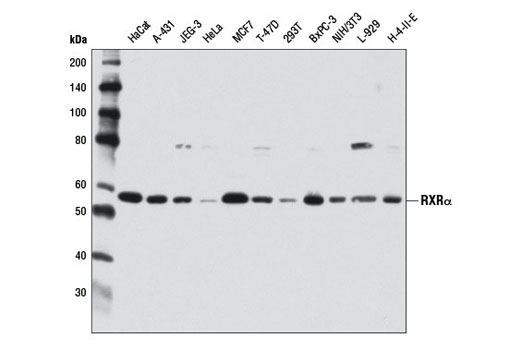 Western blot analysis of extracts from various cell lines using RXRα (D6H10) Rabbit mAb.