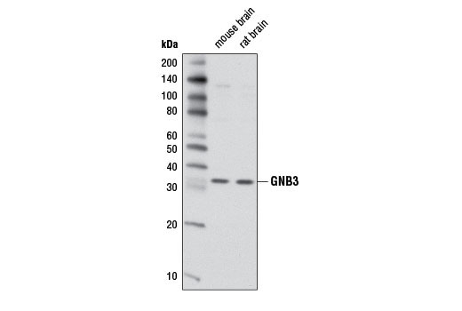 Polyclonal Antibody - GNB3 Antibody - Western Blotting, UniProt ID P16520, Entrez ID 2784 #3719, Gnb3
