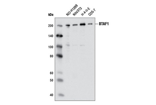 Polyclonal Antibody - BTAF1 Antibody - Immunoprecipitation, Western Blotting, UniProt ID O14981, Entrez ID 9044 #2637 - Chromatin Regulation / Nuclear Function