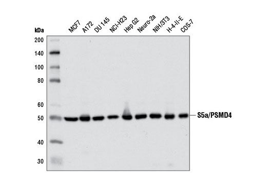 Western blot analysis of extracts from various cell lines using S5a/PSMD4 (D17E4) Rabbit mAb.