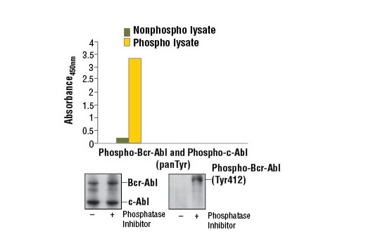 Figure 1. Constitutive phosphorylation of Bcr-Abl and c-Abl in K-562 cells lysed in the presence of phosphatase inhibitors* (phospho lysate) is detected by PathScan<sup>®</sup> Phospho-c-Abl (panTyr) Sandwich ELISA Kit #7903. In contrast, a low level of phospho-Bcr-Abl and phospho-c-Abl protein is detected in K-562 cells lysed in the absence of phosphatase inhibitors* (nonphospho lysate). Absorbance at 450 nm is shown in the top figure while corresponding western blots using c-Abl Antibody #2862 (left) and Phospho-c-Abl (Tyr412) (247C7) Rabbit mAb #2865 (right) are shown in the bottom figure. *Phosphatase inhibitors include sodium pyrophosphate, β-glycerophosphate, and Na<sub>3</sub>VO<sub>4</sub>.