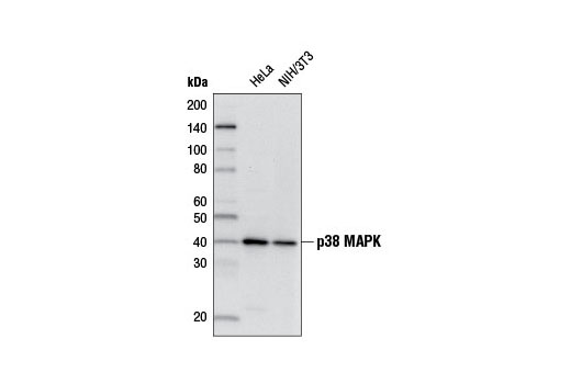 Western blot analysis of extracts from HeLa and NIH/3T3 cells using p38 MAPK (D13E1) XP<sup>®</sup> Rabbit mAb (Biotinylated). Streptavidin-HRP #3999 was used for detection.