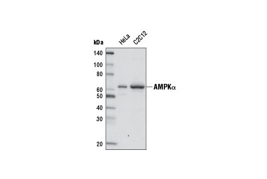 Western blot analysis of extracts from HeLa and C2C12 cells using AMPKα (D5A2) Rabbit mAb (Biotinylated). Streptavidin-HRP #3999 was used for detection.