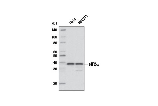 Western blot analysis of extracts from HeLa and NIH/3T3 cells using eIF2α (D7D3) XP<sup>®</sup> Rabbit mAb (Biotinylated). Streptavidin-HRP #3999 was used for detection.