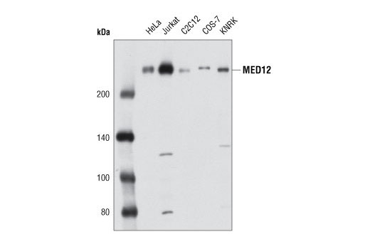 Polyclonal Antibody Transcription Cofactor Activity