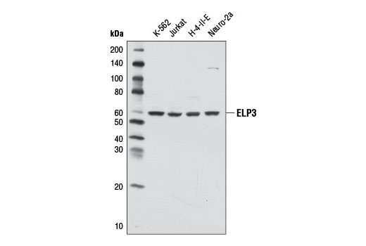 Western blot analysis of extracts from various cell lines using ELP3 (D5H12) Rabbit mAb.