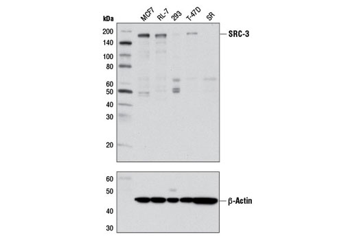 Western blot analysis of extracts from various cell lines using SRC-3 (D1F11) Rabbit mAb (upper) or β-Actin (D6A8) Rabbit mAb #8457 (lower).