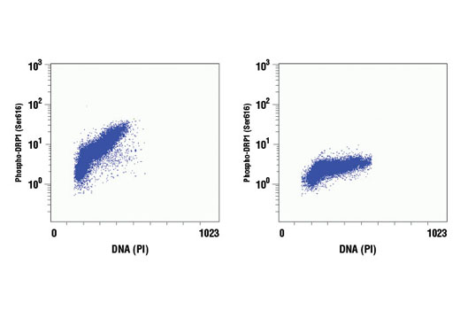 Flow cytometric analysis of Jurkat cells, untreated (left) or λ phosphatase-treated (right), using Phospho-DRP1 (Ser616) (D9A1) Rabbit mAb and propidium iodide (DNA content).