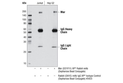 Immunoprecipitation of Jurkat and Hep G2 cell lysates using Mer (D21F11) XP<sup>®</sup> Rabbit mAb (Sepharose<sup>®</sup> Bead Conjugate) and Rabbit (DA1E) mAb IgG XP<sup>®</sup> Isotype Control (Sepharose<sup>®</sup> Bead Conjugate) #3423. The western blot was probed using Mer (D21F11) XP<sup>®</sup> Rabbit mAb #4319.