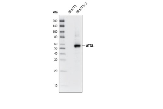 Western blot analysis of extracts from NIH/3T3 and differentiated NIH/3T3-L1 cells, using ATGL (30A4) Rabbit mAb.