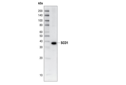 Western blot analysis of 3T3-L1 cell lysates, using SCD1 (M38) Antibody.