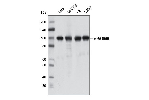 Western blot analysis of extracts from various cell lines using α-Actinin (D6F6) XP<sup>®</sup> Rabbit mAb.