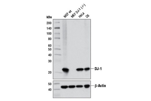 Western blot analysis of extracts from MEF wild-type, MEF DJ-1 (-/-), HeLa, and C6 cells using DJ-1 (D29E5) XP<sup>®</sup> Rabbit mAb (upper) and β-Actin (D6A8) Rabbit mAb #8457 (lower). (MEF wild-type and MEF DJ-1 (-/-) cells were kindly provided by Dr. Philipp Kahle, University of Tübingen, Germany).
