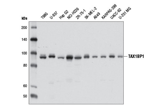 Western blot analysis of extracts from various cell lines using TAX1BP1 (D1D5) Rabbit mAb.