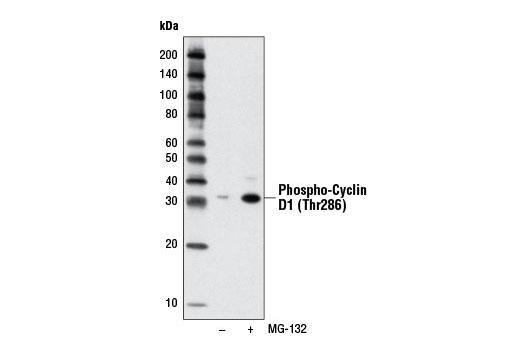 Chemical Modulators - MG-132 - 1 mg #2194, Mg-132