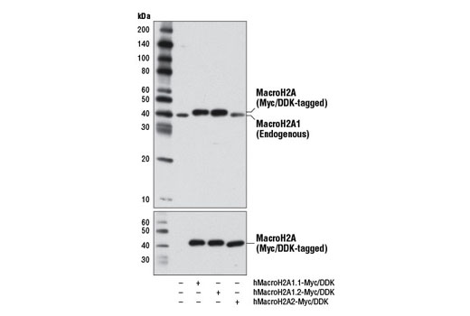 Western blot analysis of lysates from 293 cells, mock transfected (-) or transfected with a construct expressing Myc/DDK-tagged full-length human MacroH2A1.1 (hMacroH2A1.1-Myc/DDK; +), Myc/DDK-tagged full-length human MacroH2A1.2 (hMacroH2A1.2-Myc/DDK; +), or Myc/DDK-tagged full-length human MacroH2A2 (hMacroH2A2-Myc/DDK; +), using MacroH2A1 Antibody (upper) or DYKDDDDK Tag (9A3) Mouse mAb #8146 (lower).