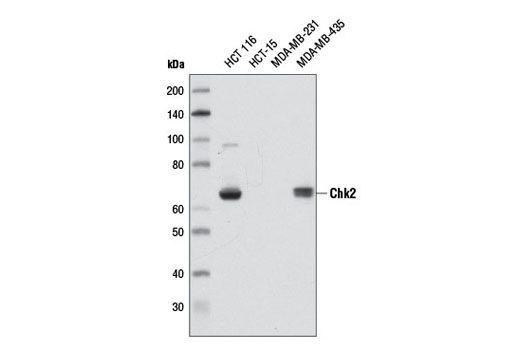 Western blot analysis of extracts from various cell lines using Chk2 (D9C6) XP<sup>®</sup> Rabbit mAb.