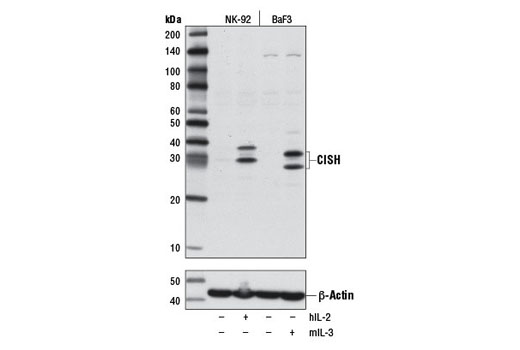 Western blot analysis of extracts from NK-92 cells, untreated (-) or treated (+) with Human Interleukin-2 (hIL-2) #8907 (10 ng/ml, overnight), or BaF3 cells, untreated (-) or treated (+) with Mouse Interleukin-3 (mIL-3) #8923 (10 ng/ml, 6 hr), using CISH (D4D9) Rabbit mAb (upper) and β-Actin (D6A8) Rabbit mAb #8457 (lower).