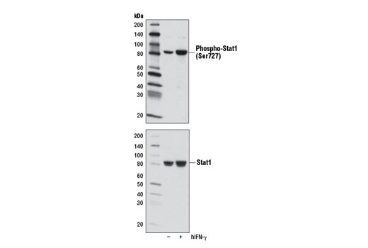 Western blot analysis of extracts from HeLa cells, untreated (-) or treated with Human Interferon-γ (hIFN-γ) #8901 (100 ng/ml, 30 min; +), using Phospho-Stat1 (Ser727) (D3B7) Rabbit mAb (upper) or Stat1 (42H3) Rabbit mAb #9175 (lower).