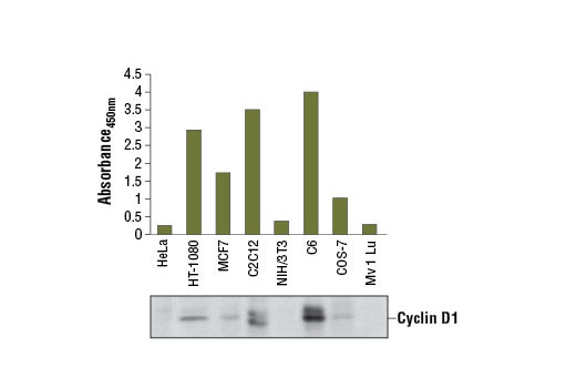 Figure 1. Cyclin D1 protein from human (HT-1080 and MCF7), monkey (COS-7), mouse (C2C12), and rat (C6) cells was detected using PathScan<sup>®</sup> Total Cyclin D1 Sandwich ELISA Kit #7918. However, this kit has a low detection level for cyclin D1 in some cell lines, such as HeLa, Mv 1 Lu or NIH/3T3. The absorbance readings at 450 nm are shown in the top figure, while the corresponding western blot using Cyclin D1 Antibody #2922, is shown in the bottom figure.