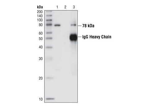 Polyclonal Antibody Western Blotting Intra-Golgi Vesicle-Mediated Transport
