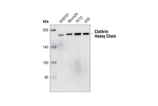 Western blot analysis of extracts from SHSY5Y, Neuro2A, PC12 and COS cells, using Clathrin Heavy Chain (P1663) Antibody.