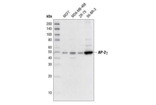 Western blot analysis of extracts from several cell lines, using AP-2γ Antibody.