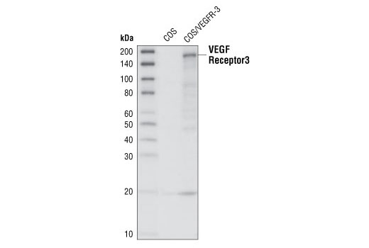 Western blot analysis of cell lysates from COS cells, either untransfected or overexpressing VEGFR-3, using VEGF Receptor 3 Antibody.