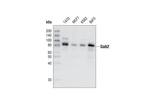 Monoclonal Antibody - Gab2 (26B6) Rabbit mAb - Western Blotting, UniProt ID Q9UQC2, Entrez ID 9846 #3239