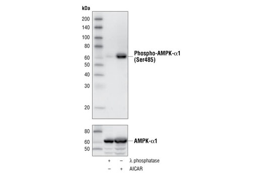 Western blot analysis of HEK293 cell lysates treated with λ phosphatase or AICAR, using Phospho-AMPKα1 (Ser485) (45F5) Rabbit mAb (upper) and AMPKα Antibody #2532 (lower).