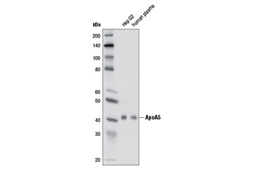 Western blot analysis of Hep G2 cell extracts and human plasma using ApoA5 (2G1H11) Mouse mAb.