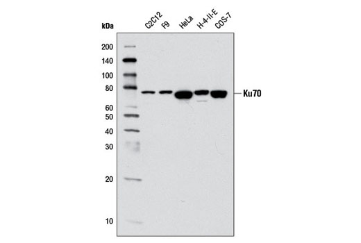 Image 3: Non-Homologous End Joining (NHEJ) DNA Repair Antibody Sampler Kit