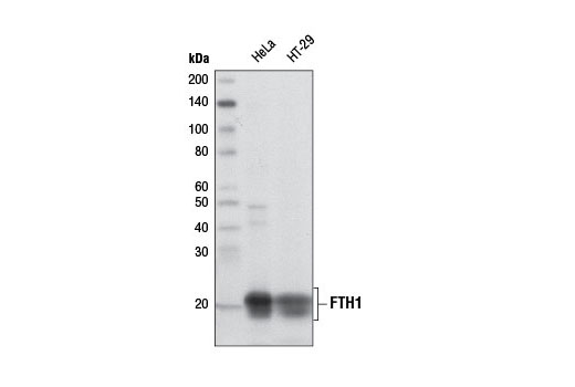Monoclonal Antibody Immunoprecipitation Iron Ion Transport