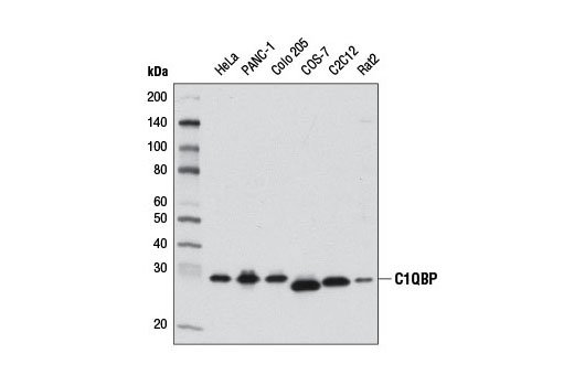 Western blot analysis of extracts from various cell lines using C1QBP (D7H12) XP<sup>®</sup> Rabbit mAb.