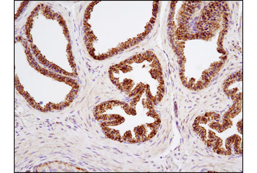 Immunohistochemical analysis of paraffin-embedded mouse ovary using C1QBP (D7H12) XP<sup>®</sup> Rabbit mAb.