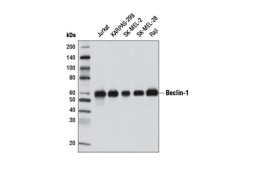 Western blot analysis of extracts from various cell lines using Beclin-1 (2A4) Mouse mAb.
