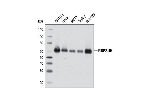 Western blot analysis of extracts from various cell lines using RBPSUH (D10A4) XP<sup>® </sup>Rabbit mAb.