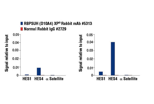 CUTLL1 cells were cultured in media with γ-secretase inhibitor (1 μM, 3 d) and then either harvested immediately (left panel) or washed and cultured in fresh media for 3 h (right panel). Chromatin immunoprecipitations were performed with cross-linked chromatin from cells and RBPSUH (D10A4) XP<sup>® </sup>Rabbit mAb or Normal Rabbit IgG #2729 using SimpleChIP<sup>®</sup> Enzymatic Chromatin IP Kit (Magnetic Beads) #9003. The enriched DNA was quantified by real-time PCR using human HES1 promoter primers, SimpleChIP<sup>®</sup> Human HES4 Promoter Primers #7273, and SimpleChIP<sup>®</sup> Human α Satellite Repeat Primers #4486. The amount of immunoprecipitated DNA in each sample is represented as signal relative to the total amount of input chromatin, which is equivalent to one.