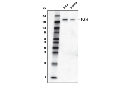 Western blot analysis of extracts from HeLa and NIH/3T3 cells using PLCγ1 (D9H10) XP<sup>®</sup> Rabbit mAb (Biotinylated).
