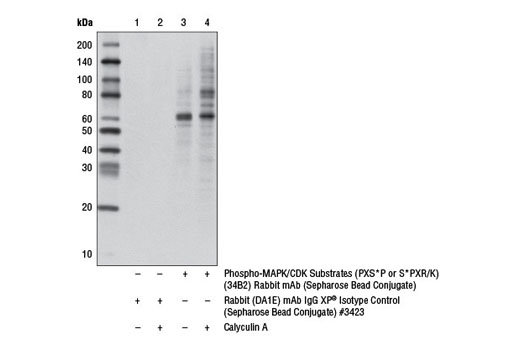 Monoclonal Antibody - Phospho-MAPK/CDK Substrates (PXS*P or S*PXR/K) (34B2) Rabbit mAb (Sepharose® Bead Conjugate) - 400 µl #5501, Ptmscan