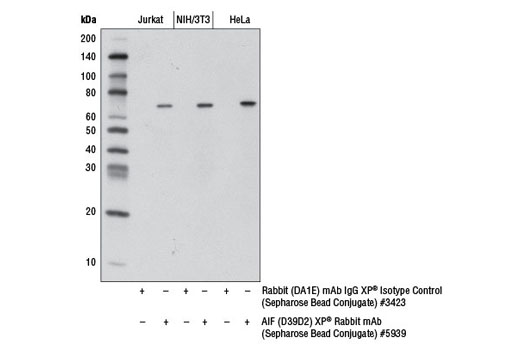 Immunoprecipitation of Jurkat, NIH/3T3, and HeLa cell extracts using Rabbit (DA1E) mAb IgG XP<sup>®</sup> Isotype Control (Sepharose<sup>®</sup> Bead Conjugate) #3423 and AIF (D39D2) XP<sup>®</sup> Rabbit mAb (Sepharose<sup>®</sup> Bead Conjugate). The western blot was probed using AIF (D39D2) XP<sup>®</sup> Rabbit mAb #5318 and Mouse Anti-rabbit IgG (Conformation Specific) (L27A9) mAb (HRP Conjugate) #5127.