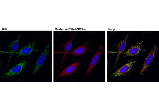 Confocal immunofluorescent analysis of HeLa cells using ACO2 (D6D9) XP<sup>®</sup> Rabbit mAb (green), showing colocalization with mitochondria that were labeled with MitoTracker<sup>®</sup> Red CMXRos (red). Blue pseudocolor = DRAQ5<sup>®</sup> #4084 (fluorescent DNA dye).