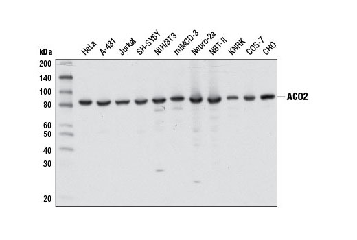 Western blot analysis of extracts from various cell lines using ACO2 (D6D9) XP<sup>® </sup>Rabbit mAb.