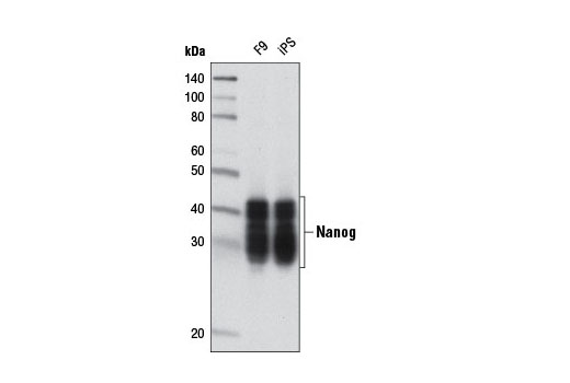 Western Blotting Image 1: Nanog (D2A3) XP® Rabbit mAb (Mouse Specific)