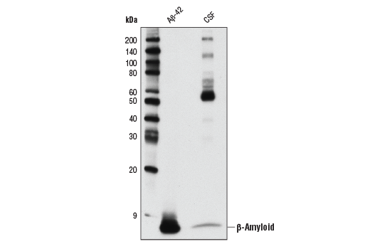 Western blot analysis of human Aβ-42 peptide (1 ng) and human cerebrospinal fluid (CSF) of an AD patient using β-Amyloid (D54D2) XP<sup>® </sup>Rabbit mAb.