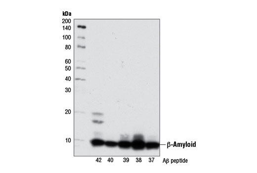 Western blot analysis of human Aβ-42, Aβ-40, Aβ-39, Aβ-38, and Aβ-37 peptides (5 ng) using β-Amyloid (D54D2) XP<sup>® </sup>Rabbit mAb.