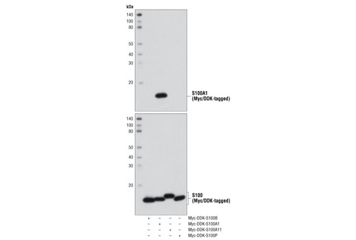 Western blot analysis of recombinant, purified S100 family proteins (50 ng) using S100A1 Antibody (upper) or Myc-Tag (71D10) Rabbit mAb #2278 (lower).