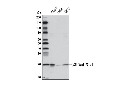 Western blot analysis of extracts from COS-7, HeLa, and MCF7 cells using p21 Waf1/Cip1 (12D1) Rabbit mAb (Biotinylated). Streptavidin-HRP #3999 was used for detection.