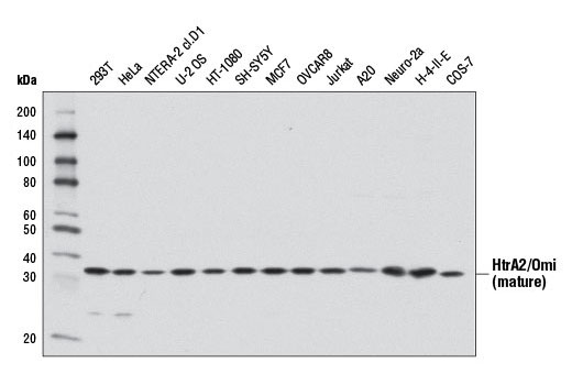 Western blot analysis of extracts from various cell lines using HtrA2/Omi (D20A5) Rabbit mAb.
