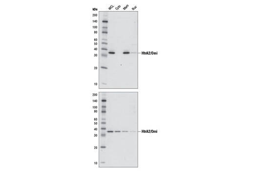 Western blot analysis of extracts from HeLa cells, untreated (upper) or treated with Staurosporine #9953 (1 μM, 3 hr; lower), using HtrA2/Omi (D20A5) Rabbit mAb #9745. Cells were fractionated into whole cell lysate (WCL), cytoplasm (Cyto), membrane (Mem), and cytoskeletal/nucleus (Nuc) using Cell Fractionation Kit #9038. Membrane fraction includes mitochondria.